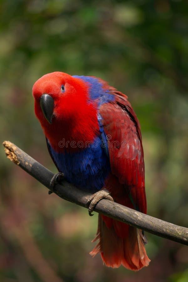 oiseau bleu rouge de perroquet image libre de droits