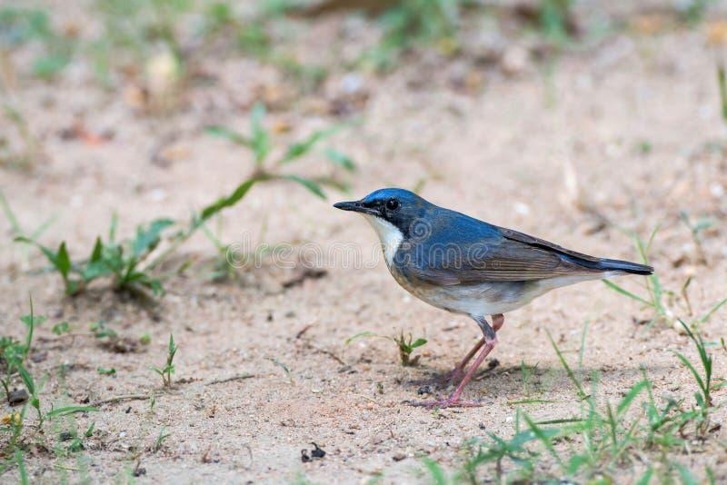 Oiseau bleu sibérien de Robin images libres de droits