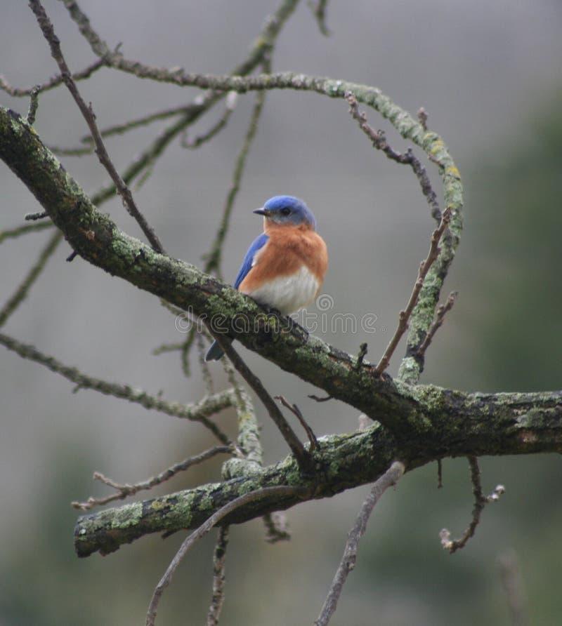 Oiseau bleu sur des branchements images stock