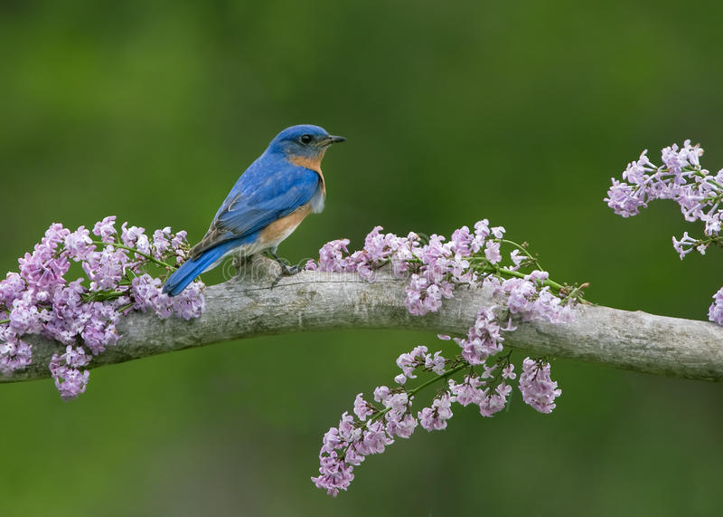 Oiseau bleu sur des lilas photographie stock libre de droits