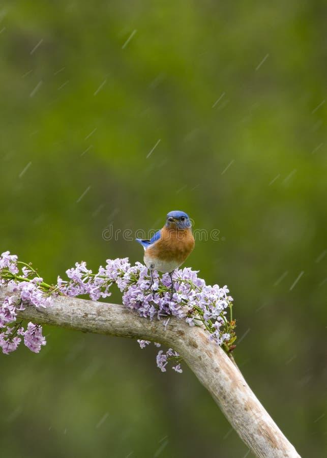 Oiseau bleu sur des lilas sous la pluie photos libres de droits