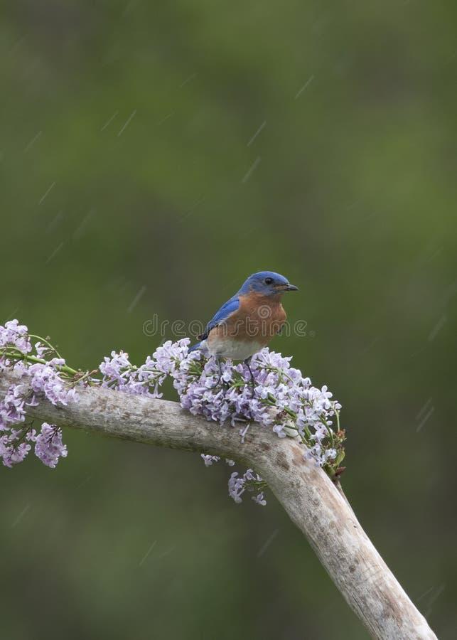 Oiseau bleu sur des lilas sous la pluie images stock