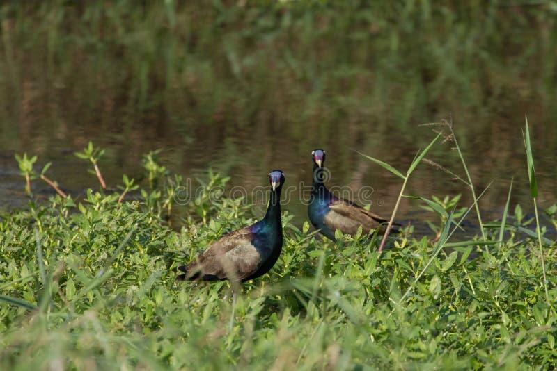 oiseau Bronze-à ailes de Jacana marchant dans la nature photo libre de droits
