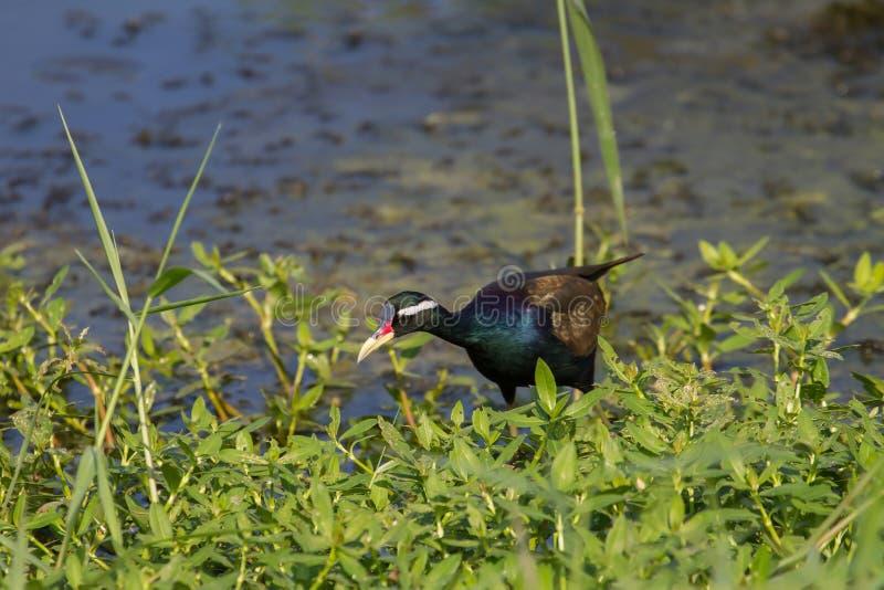 oiseau Bronze-à ailes de Jacana marchant dans la nature photographie stock