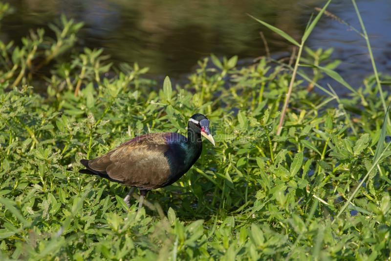 oiseau Bronze-à ailes de Jacana marchant dans la nature images libres de droits