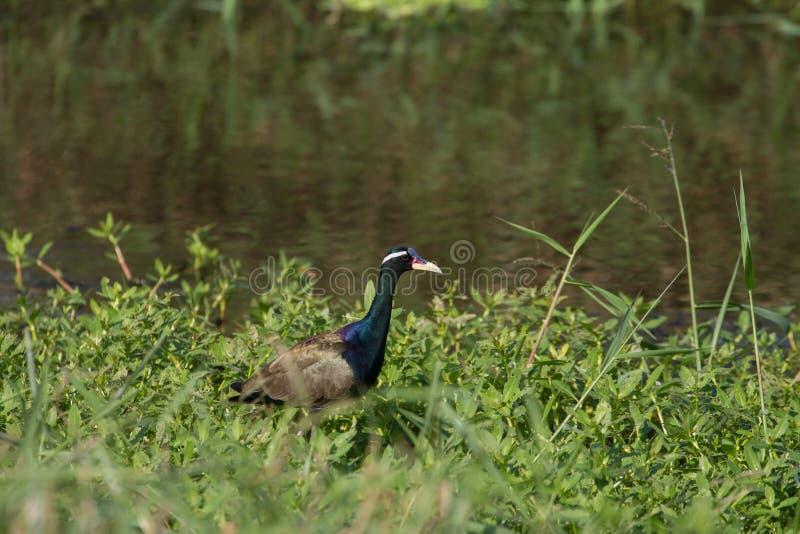 oiseau Bronze-à ailes de Jacana marchant dans la nature images stock