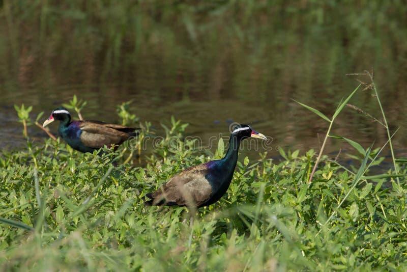 oiseau Bronze-à ailes de Jacana marchant dans la nature photo stock