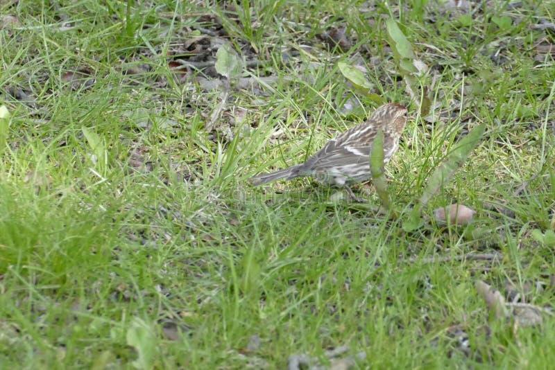 Oiseau brun minuscule dans une herbe verte photo libre de droits