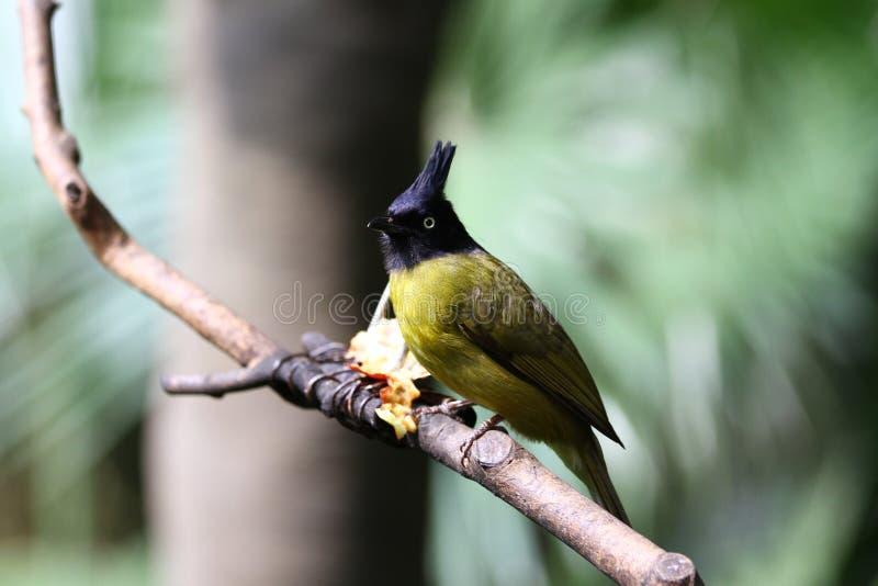 Oiseau -- bulbul jaune noir-crêté photographie stock