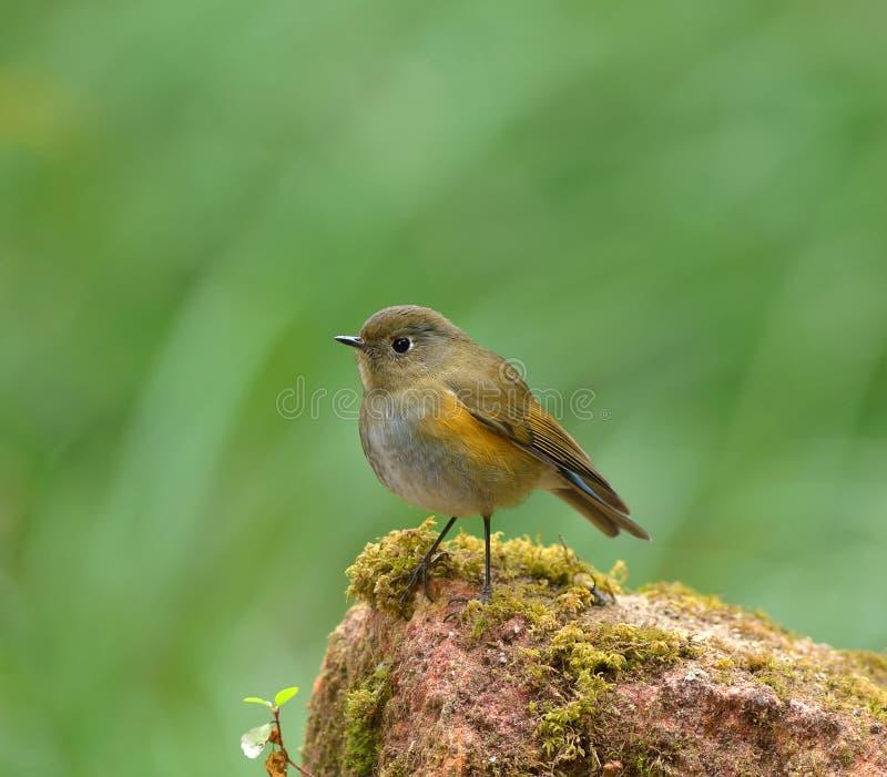 Oiseau (Bush-Robin Orange-flanqué), Thaïlande images libres de droits