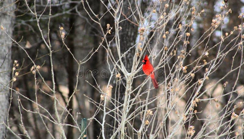 Oiseau cardinal rouge lumineux en hiver photographie stock