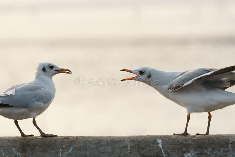 Oiseau chantant pour repousser un autre photos stock