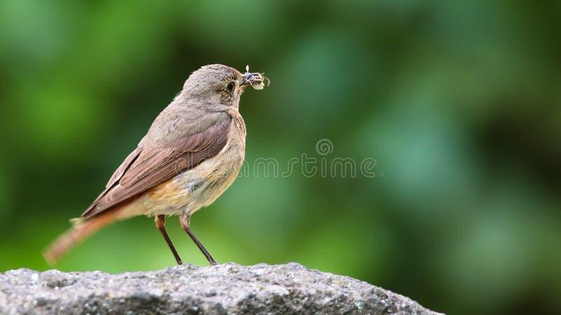 Oiseau chanteur commun de megarhynchos de rossignol ou simplement de Luscinia de rossignol été perché mangeant l'insecte sur la r photo libre de droits