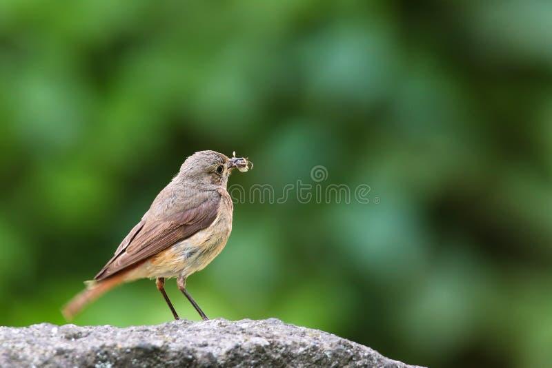 Oiseau chanteur commun de megarhynchos de rossignol ou simplement de Luscinia de rossignol été perché mangeant l'insecte sur la r photographie stock libre de droits