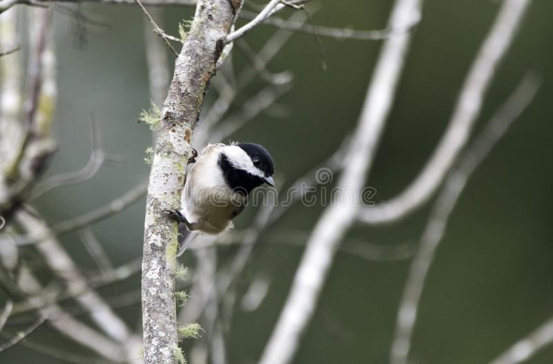 Oiseau chanteur de Carolina Chickadee, la Géorgie Etats-Unis photos stock