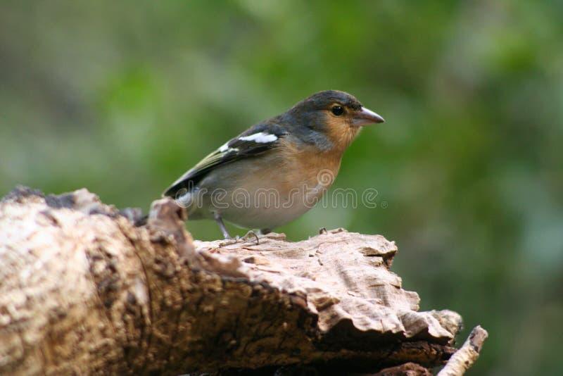 Oiseau chez Barranco de la Galga photographie stock libre de droits