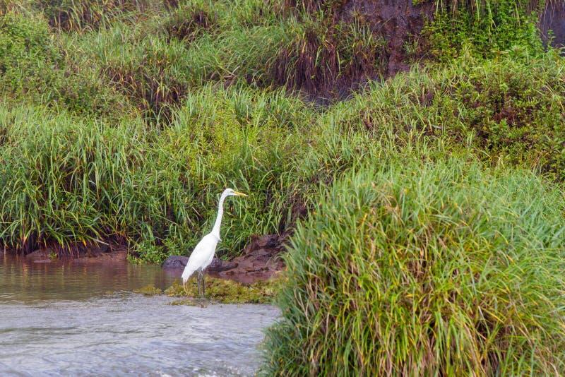 Oiseau chez les chutes d'Iguaçu images stock