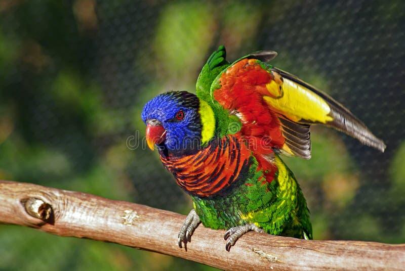 Oiseau coloré de Lorikeet soulevant des ailes photos libres de droits