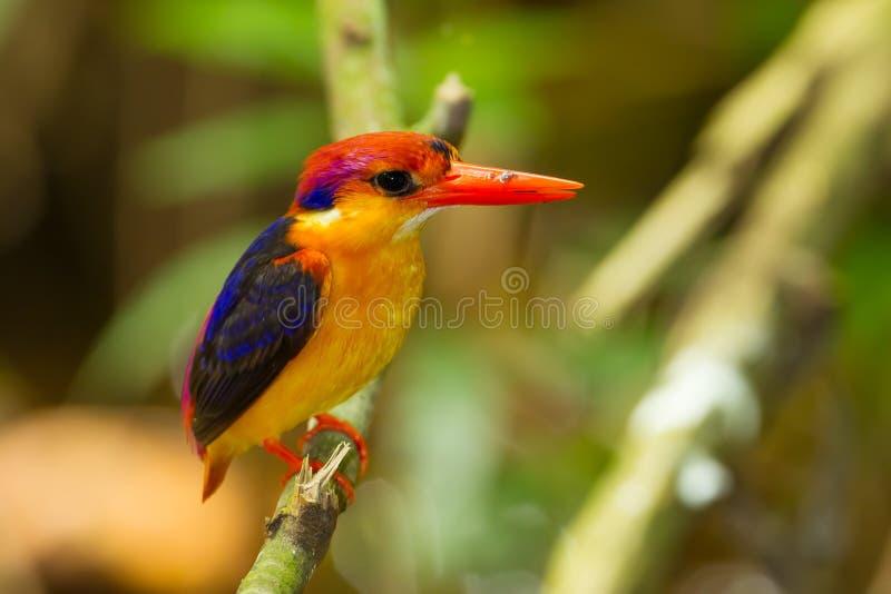 Oiseau coloré de martin-pêcheur, images stock