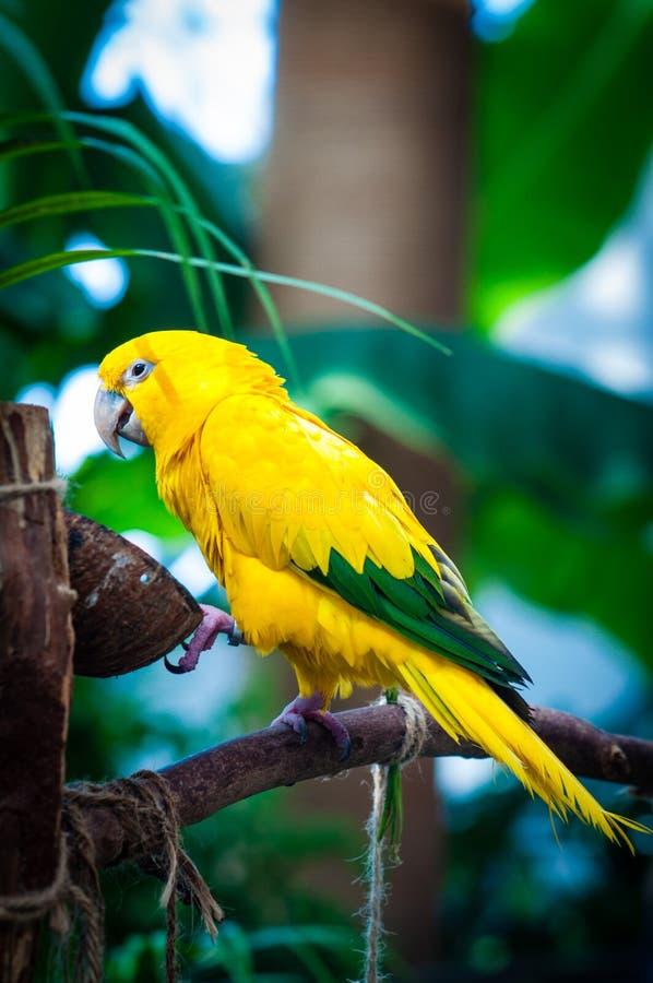 Oiseau coloré de perroquet de conure du soleil images libres de droits