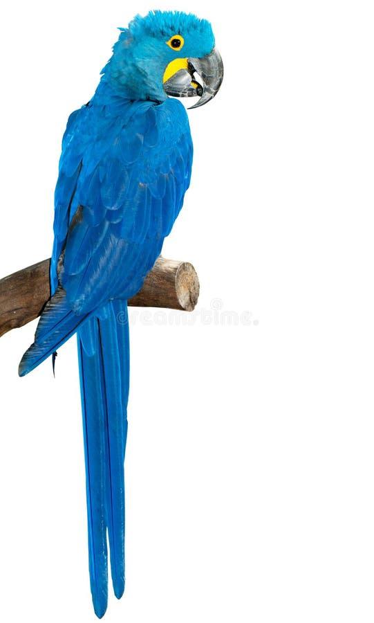 Oiseau coloré de perroquet sur la perche images libres de droits