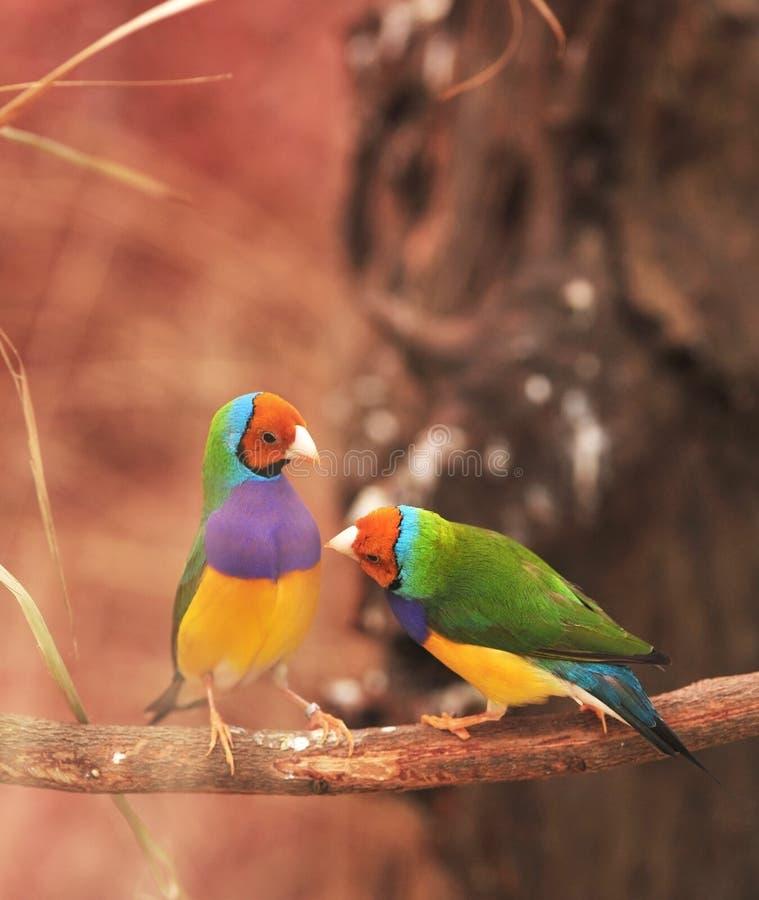 Oiseau coloré de pinson de Gouldian sur l'arbre image libre de droits