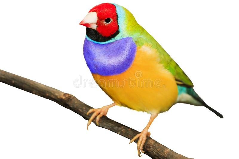Oiseau coloré sur une branche d'isolement sur le fond blanc images stock