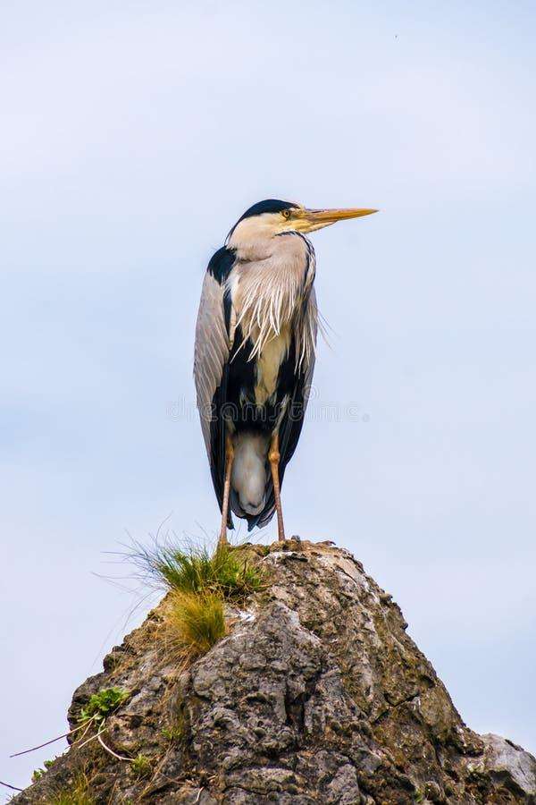 Oiseau commun de grue se tenant sur une roche photographie stock