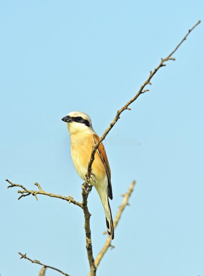 Oiseau commun de traquet photo libre de droits
