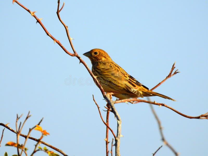 Oiseau d'étamine de maïs photos libres de droits