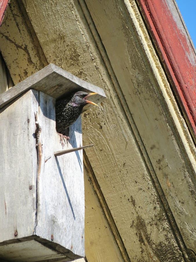 Oiseau d'étourneau dans l'emboîtement-boîte photos libres de droits