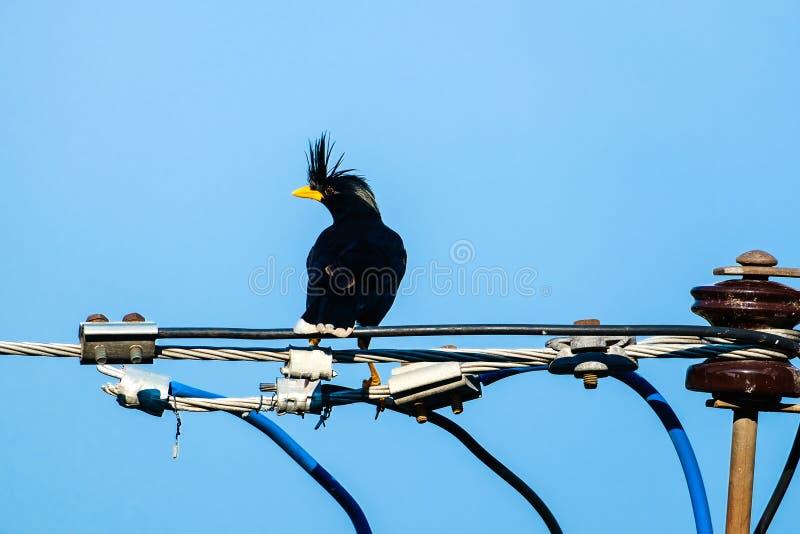 Oiseau d'étourneaux ou grandis Blanc-exhalés de Myna ou d'Acridotheres photo libre de droits