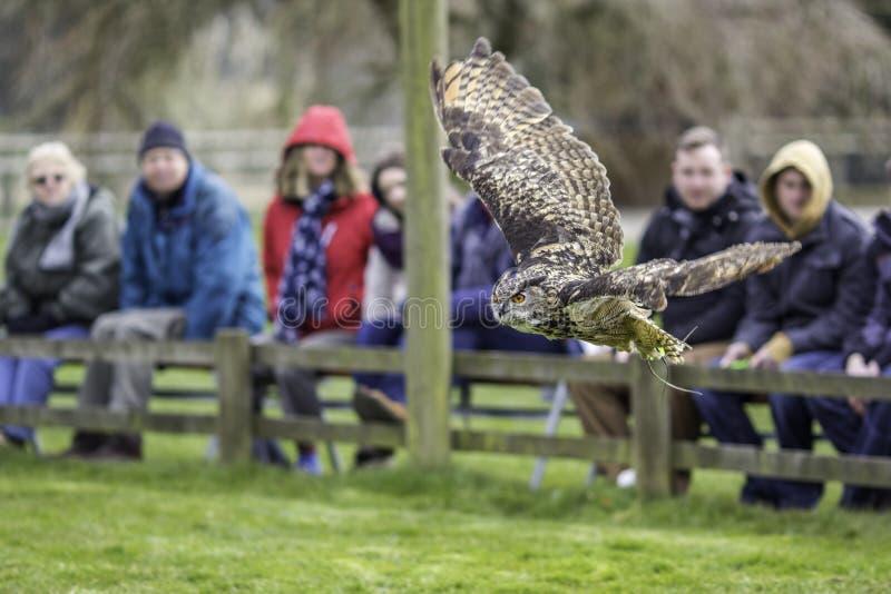 Oiseau d'affichage de proie avec Eagle Owl eurasien en vol photos libres de droits