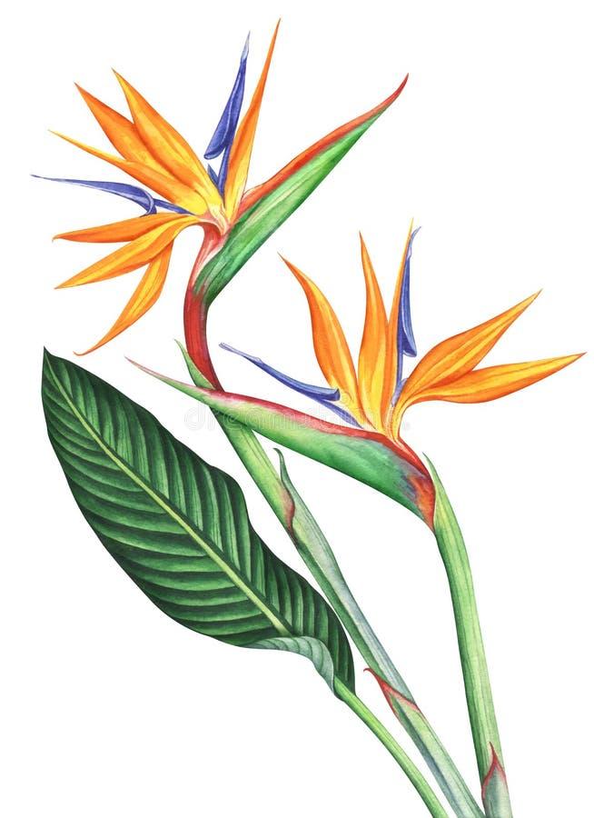 Oiseau d'aquarelle des fleurs de paradis d'isolement sur le fond blanc image libre de droits