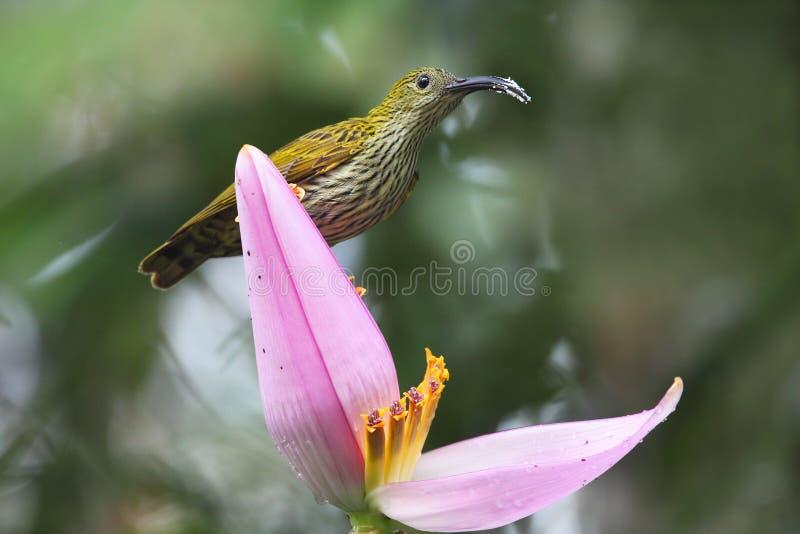 oiseau d'Araignée-chasseur photographie stock