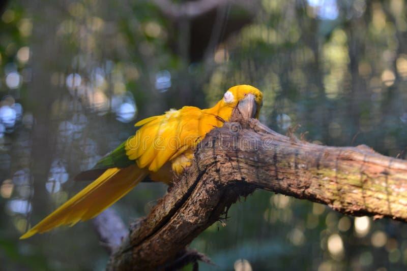 Oiseau d'ararajuba de photographie, symbole du Brésil images libres de droits