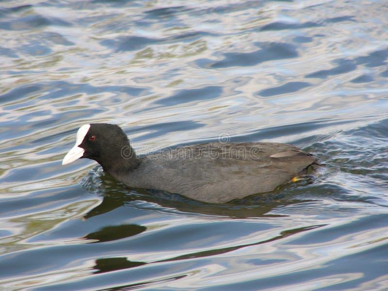 Oiseau d'eau image libre de droits