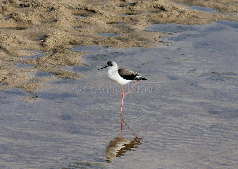 Oiseau d'eau africain recherchant la nourriture photos stock