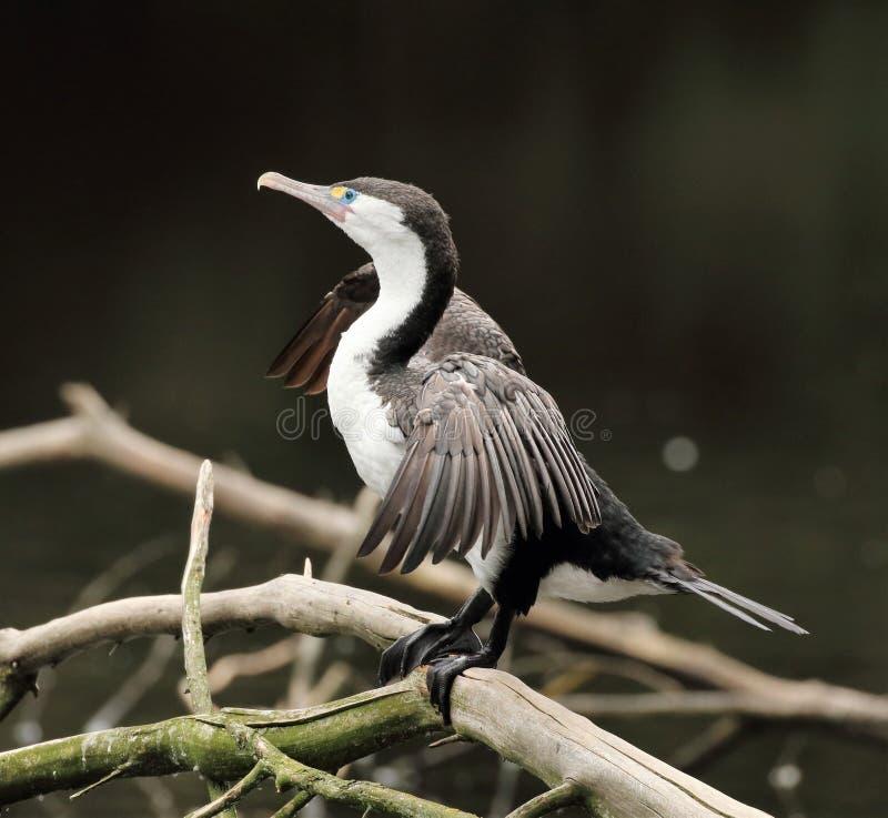 Oiseau d'eau aquatique de tapis à longs poils du Nouvelle-Zélande se reposant sur des branches photo libre de droits