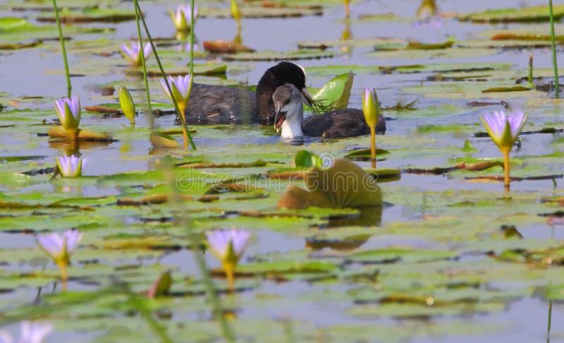 Oiseau d'enfant de foulque maroule avec sa mère images stock