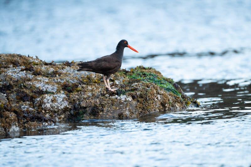 Oiseau d'huîtrier d'africain noir images libres de droits