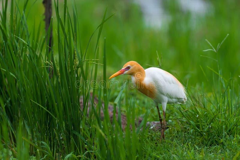 Oiseau d'IBIS de Bubulcus photographie stock