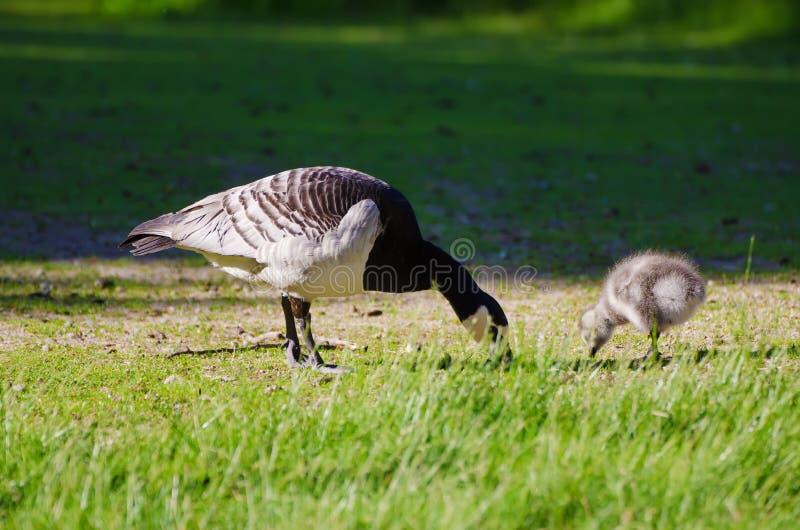 Oiseau d'oie de Canada photographie stock libre de droits