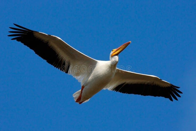 Oiseau dans la mouche avec le ciel bleu Pélican blanc, erythrorhynchos de Pelecanus, de la Floride, les Etats-Unis Pélican blanc  photo stock