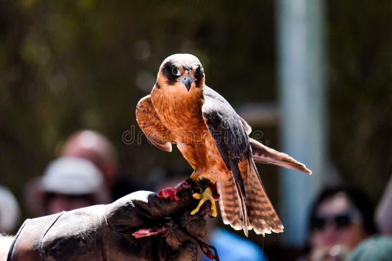 Oiseau dans le poing photographie stock libre de droits