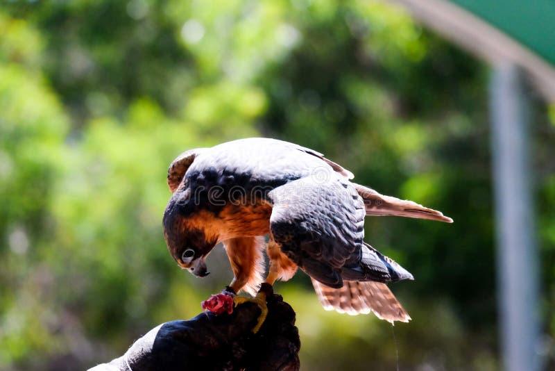 Oiseau dans le poing photos stock