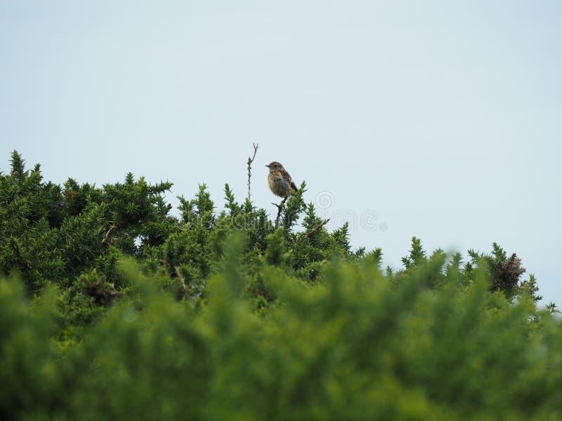 Oiseau dans les buissons photos stock