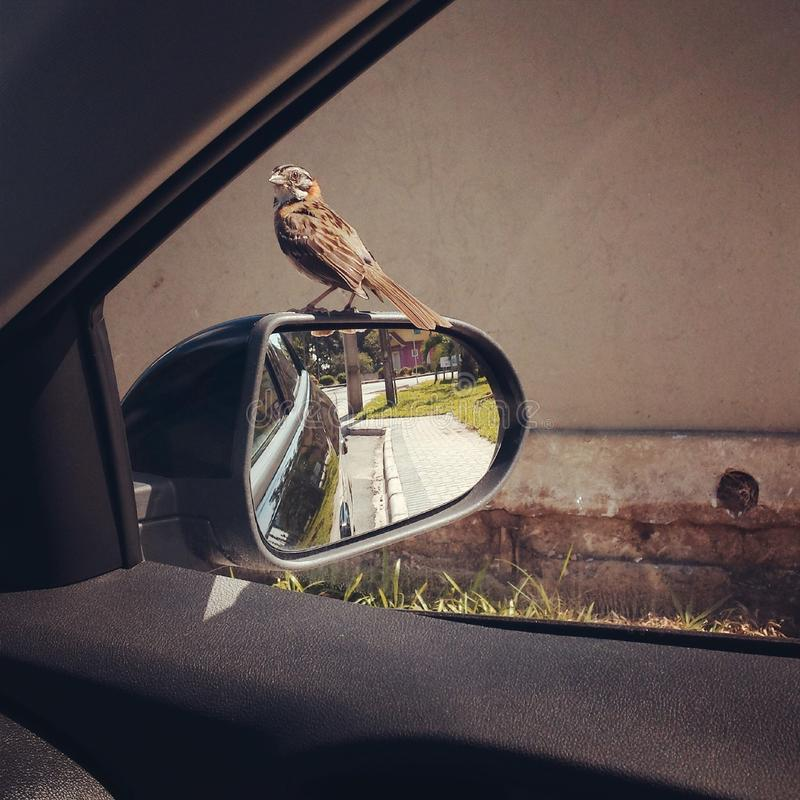 Oiseau dans une voiture photos stock
