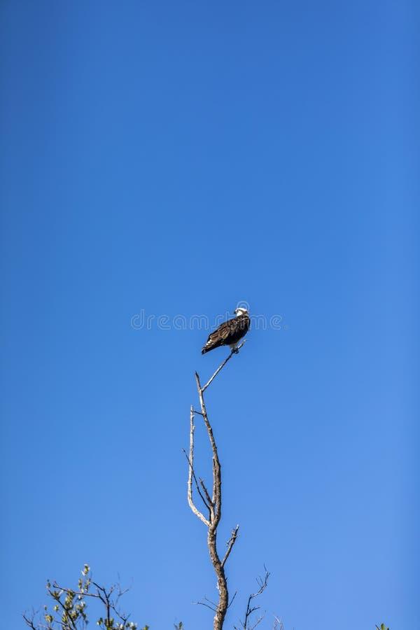 Oiseau de balbuzard de la Floride photo libre de droits