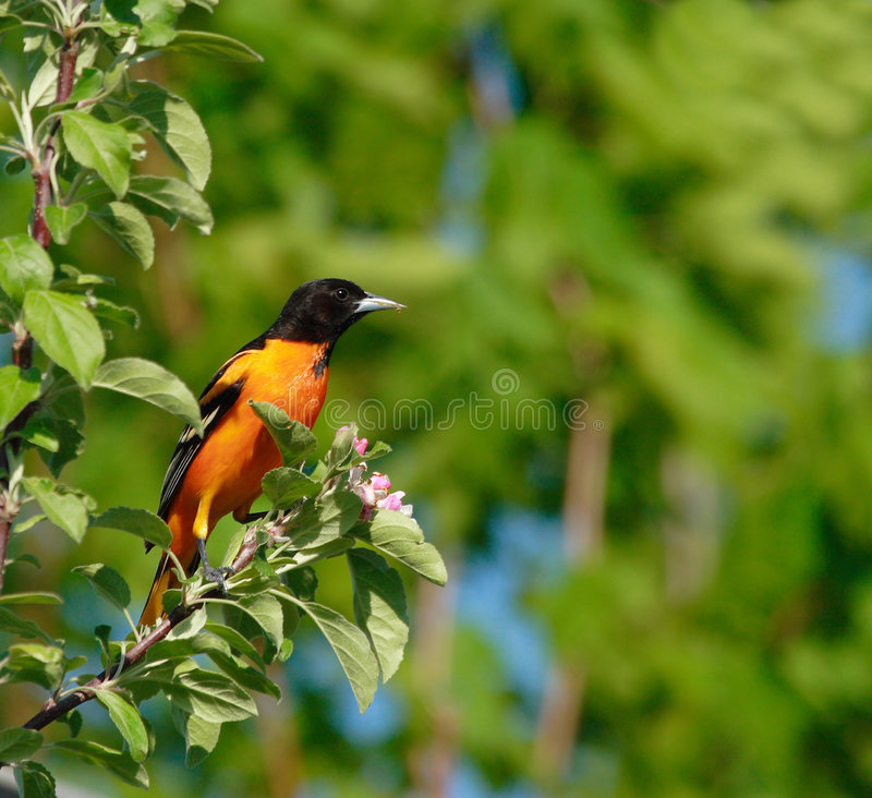 Oiseau de Baltimore Oriole images libres de droits